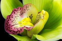 Orchidée de bateau Photo libre de droits