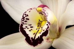 Orchidée de bateau Photos stock