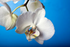 Orchidée de Beautifuk contre le bleu Photo stock