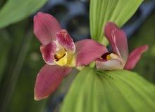 Orchidée de bijou rouge de Lycaste photographie stock libre de droits