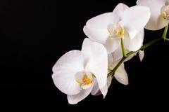 Orchidée de blanc de branche images stock
