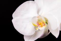 Orchidée de blanc de branche photographie stock