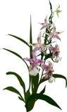 Orchidée de Brown et fleurs roses sur le fond blanc Photo libre de droits