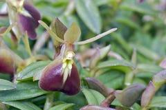 Orchidée de Brown sur le fond vert Images stock