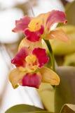 Orchidée de Cattleya Photographie stock libre de droits