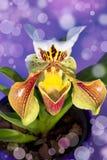 Orchidée de chausson de Madame d'isolement Photo stock