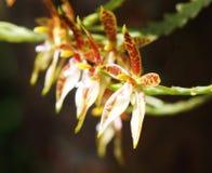 Orchidée de cornucervi de Phalaenopsis Photo stock