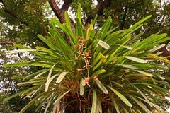 Orchidée de Cymbidium ou de bateau Photographie stock libre de droits