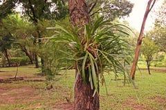 Orchidée de Cymbidium ou de bateau Photos stock