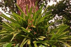 Orchidée de Cymbidium ou de bateau Photo stock