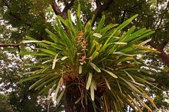 Orchidée de Cymbidium ou de bateau Image stock