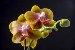 Orchidée de Dendrobium Photographie stock