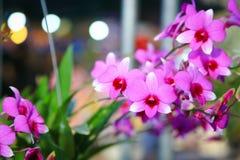Orchidée de Dendrobium Images libres de droits
