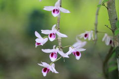 Orchidée de Dendrobium Photos stock