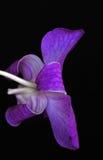 Orchidée de Dendrobium Photo stock