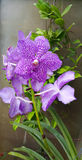 Orchidée de fleur dans le jardin photographie stock libre de droits