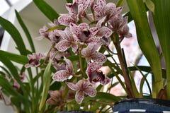 Orchidée de floraison Photographie stock libre de droits