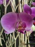 Orchidée de floraison de lavande Photographie stock libre de droits