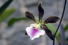 Orchidée de genre Encyclia Images stock