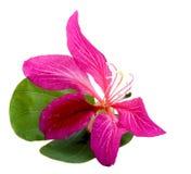 orchidée de Hong Kong de fleur photographie stock libre de droits