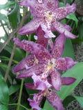 Orchidée de jardin botanique, pourpre repéré et blanc Photos libres de droits