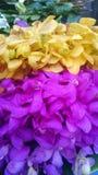 Orchidée de jaune et de Violet Vanda Image libre de droits