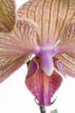 Orchidée de Kaleides de macro Baldan Photographie stock