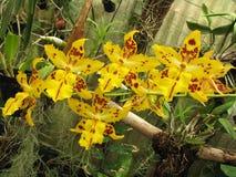 Orchidée de la Madère Image stock
