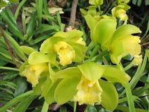 Orchidée de la Madère Photographie stock libre de droits