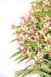 Orchidée de lamellata de Vanda Photographie stock libre de droits