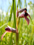Orchidée de langue dans le pré Photo stock