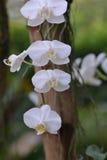 Orchidée de lune Images stock