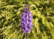 Orchidée de marais méridionale Photographie stock