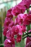 Orchidée de mite photo stock