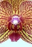 Orchidée de mite photos libres de droits
