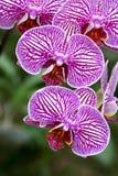 Orchidée de mite images libres de droits