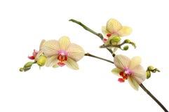 Orchidée de mite image stock