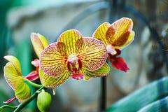 Orchidée de mite Photographie stock