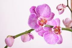 Orchidée de mite Photographie stock libre de droits