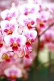 Orchidée de mite mise en pot Images stock