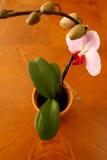 Orchidée de mite rose Photo libre de droits
