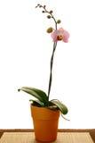Orchidée de mite rose Image stock