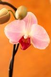 Orchidée de mite rose Image libre de droits