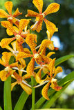 Orchidée de Mokara Photo stock