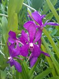 Orchidée de Mokara Chao Phraya Blue Boy Photos stock