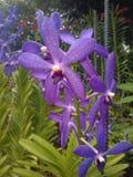 Orchidée de Mokara Chao Phraya Blue Boy Photographie stock libre de droits