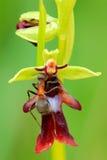 Orchidée de mouche avec le pollinisateur de fourmi, insectifera d'Ophrys, orchidée sauvage terrestre européenne fleurissante, hab photographie stock libre de droits