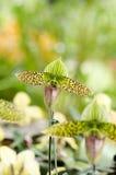 Orchidée de Paphiopedilum Photos libres de droits