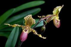 Orchidée de Paphiopedilum (foyer sélectif) Image stock