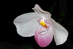 Orchidée de Paphiopedilum ou orchidée de pantoufle Image libre de droits